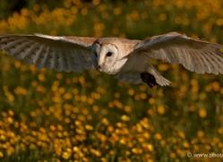 barn-owl-341-copyright-photographers-on-safari-com