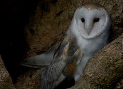barn-owl-copyright-photographersonsafari.com-9674