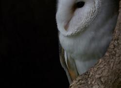 barn-owl-copyright-photographersonsafari.com-9675