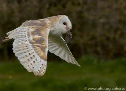 barn-owl-copyright-photographersonsafari.com-9677