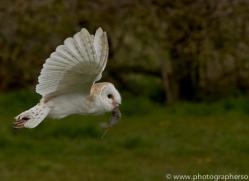 barn-owl-copyright-photographersonsafari.com-9678