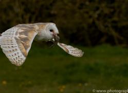 barn-owl-copyright-photographersonsafari.com-9679