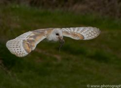barn-owl-copyright-photographersonsafari.com-9680