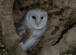 barn-owl-copyright-photographersonsafari.com-9681