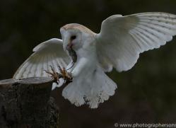 barn-owl-copyright-photographersonsafari.com-9683