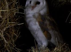 barn-owl-copyright-photographersonsafari.com-9685