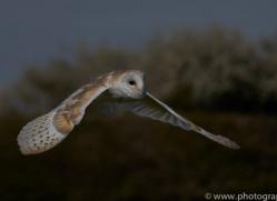 barn-owl-copyright-photographersonsafari.com-9687
