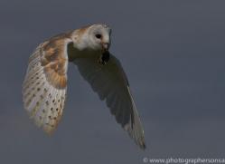 barn-owl-copyright-photographersonsafari.com-9688