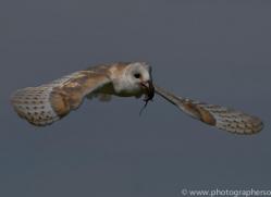 barn-owl-copyright-photographersonsafari.com-9689