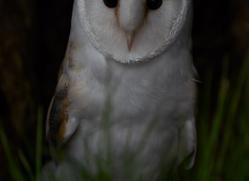 barn-owl-copyright-photographersonsafari.com-9690