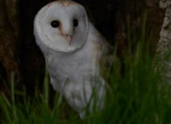 barn-owl-copyright-photographersonsafari.com-9691