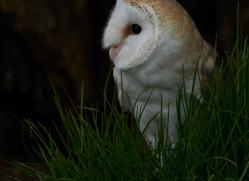 barn-owl-copyright-photographersonsafari.com-9692
