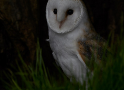 barn-owl-copyright-photographersonsafari.com-9693