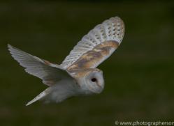 barn-owl-copyright-photographersonsafari.com-9694