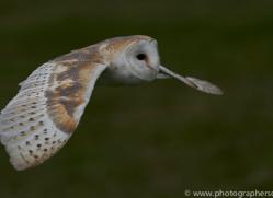 barn-owl-copyright-photographersonsafari.com-9695