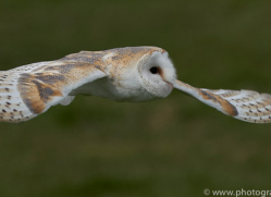 barn-owl-copyright-photographersonsafari.com-9696
