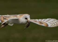 barn-owl-copyright-photographersonsafari.com-9697