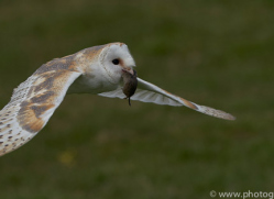 barn-owl-copyright-photographersonsafari.com-9699