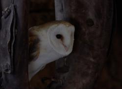 barn-owl-copyright-photographersonsafari.com-9700