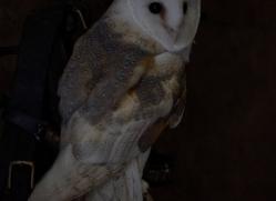 barn-owl-copyright-photographersonsafari.com-9703