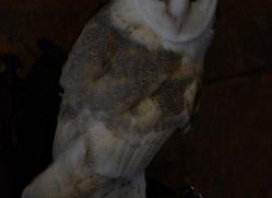 barn-owl-copyright-photographersonsafari.com-9704
