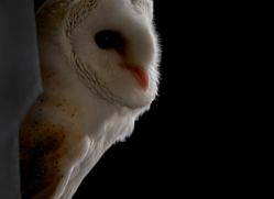 barn-owl-copyright-photographersonsafari.com-9706