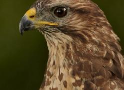 common-buzzard-267-copyright-photographers-on-safari-com