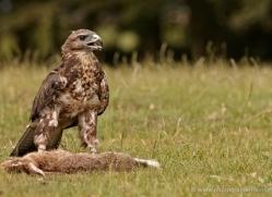 common-buzzard-268-copyright-photographers-on-safari-com