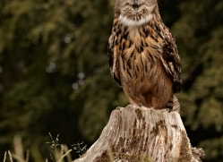 european-eagle-owl-285-copyright-photographers-on-safari-com