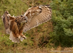 european-eagle-owl-286-copyright-photographers-on-safari-com