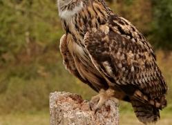 european-eagle-owl-287-copyright-photographers-on-safari-com