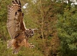 european-eagle-owl-288-copyright-photographers-on-safari-com