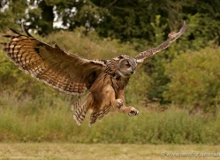 european-eagle-owl-289-copyright-photographers-on-safari-com