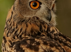 european-eagle-owl-291-copyright-photographers-on-safari-com
