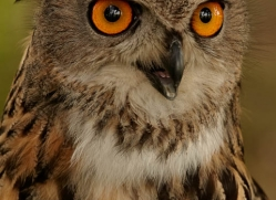 european-eagle-owl-292-copyright-photographers-on-safari-com