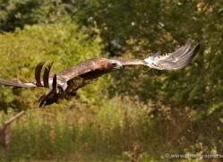 golden-eagle-275-copyright-photographers-on-safari-com