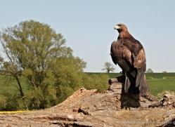 golden-eagle-277-copyright-photographers-on-safari-com