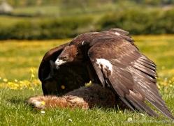 golden-eagle-278-copyright-photographers-on-safari-com