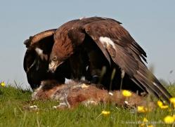 golden-eagle-280-copyright-photographers-on-safari-com