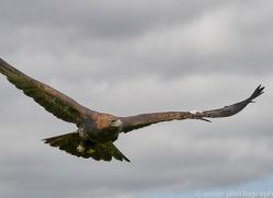 golden-eagle-photographersonsafari.com-9707