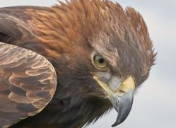 golden-eagle-photographersonsafari.com-9712