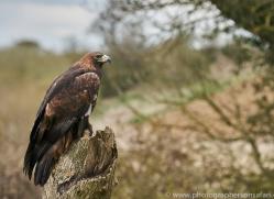 golden-eagle-photographersonsafari.com-9713