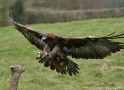 golden-eagle-photographersonsafari.com-9718