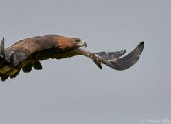 golden-eagle-photographersonsafari.com-9734