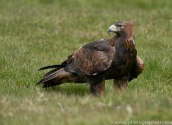 golden-eagle-photographersonsafari.com-9738