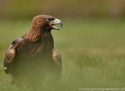 golden-eagle-photographersonsafari.com-9739