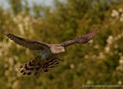 goshawk-247-copyright-photographers-on-safari-com