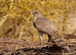 goshawk-249-copyright-photographers-on-safari-com