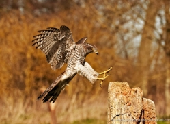 goshawk-251-copyright-photographers-on-safari-com