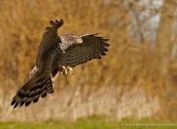 goshawk-252-copyright-photographers-on-safari-com